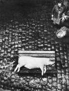 Robert Häusser. Negyva kiaulė. 1960